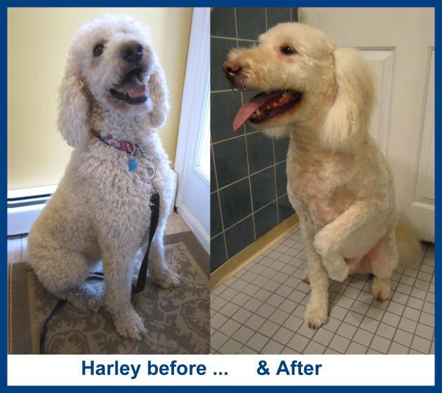 Harley a Goldendoodle